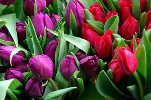 tulipany kolorowe
